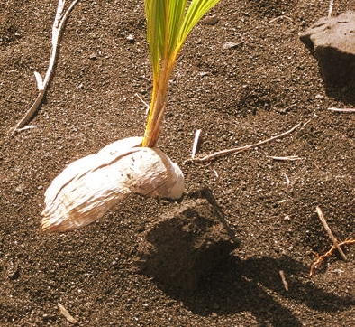 coconut-on-sand-3