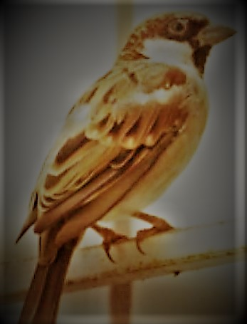sparrow-from-wikipedia