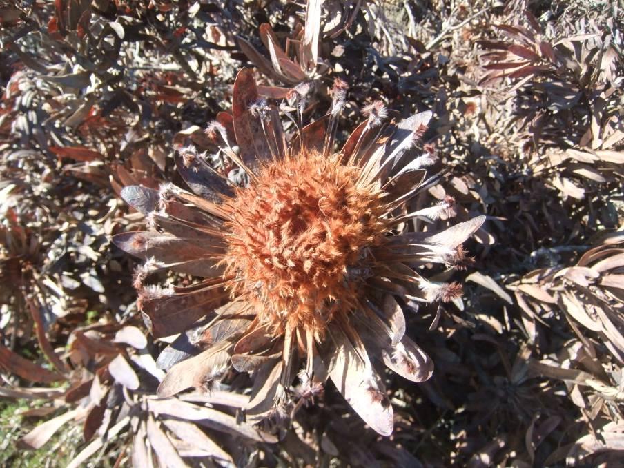 protea going dry